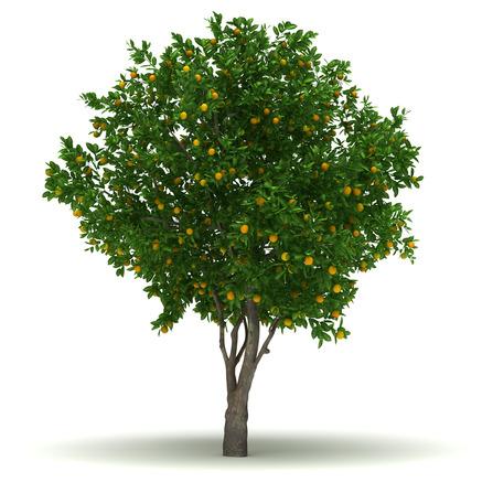 Single Orange Tree
